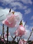 彼岸桜の写真